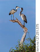 Купить «Grey heron (Ardea cinerea) adult with a hungry juvenile, Chobe National Park, Botswana. May.», фото № 27251575, снято 23 октября 2018 г. (c) Nature Picture Library / Фотобанк Лори