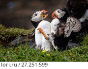 Купить «Atlantic Puffins  (Fratercula arctica) fighting, Isle of Lunga, Treshnish Isles, Scotland, UK,  July.», фото № 27251599, снято 17 декабря 2018 г. (c) Nature Picture Library / Фотобанк Лори
