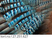 Купить «Close-up of a Jay's (Garrulus glandarius) wing, showing blue covert feathers.», фото № 27251627, снято 19 августа 2018 г. (c) Nature Picture Library / Фотобанк Лори