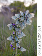 Купить «Black veined white butterflies (Aporia crataegi) large group roosting on plant just after emergence, Herault, France, May.», фото № 27251651, снято 19 августа 2018 г. (c) Nature Picture Library / Фотобанк Лори