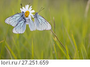 Купить «Group of Black veined white butterflies (Aporia crataegi) just after emergence, Herault, France, May.», фото № 27251659, снято 19 августа 2018 г. (c) Nature Picture Library / Фотобанк Лори