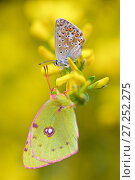 Купить «Adonis blue butterfly (Lysandra bellargus) and Berger's Clouded Yellow Butterfly (Colias alfacariensis), Hautes-Alpes, France, May.», фото № 27252275, снято 15 августа 2018 г. (c) Nature Picture Library / Фотобанк Лори