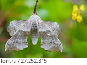 Купить «Poplar Hawkmoth (Laothoe populi), Grands Causses Regional Natural Park, France, May.», фото № 27252315, снято 11 декабря 2017 г. (c) Nature Picture Library / Фотобанк Лори