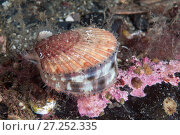 Купить «Queen scallop (Aequipecten opercularis) Isle of Man, July.», фото № 27252335, снято 24 мая 2018 г. (c) Nature Picture Library / Фотобанк Лори