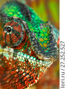 Купить «RF - Panther Chameleon (Furcifer pardalis) male portrait, Madagascar. Controlled conditions», фото № 27252527, снято 20 января 2018 г. (c) Nature Picture Library / Фотобанк Лори