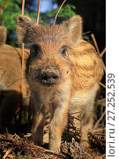 RF - Wild boar (Sus scrofa) piglet in forest, UK. (This image may be licensed either as rights managed or royalty free.) Стоковое фото, фотограф Andy Rouse / Nature Picture Library / Фотобанк Лори