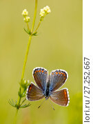 Купить «Adonis blue butterfly (Polyommatus bellargus), Grands Causses Regional Natural Park, France, June.», фото № 27252667, снято 15 августа 2018 г. (c) Nature Picture Library / Фотобанк Лори