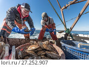 Купить «Fishermen harvesting scallops from a scallop dredge on a scallop boat. Cousins Island, Maine, USA, January. Model released.», фото № 27252907, снято 24 мая 2018 г. (c) Nature Picture Library / Фотобанк Лори