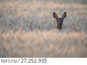 Купить «Roe deer (Capreolus capreolus) female in a wheat field, Burgundy, France. June.», фото № 27252935, снято 18 августа 2018 г. (c) Nature Picture Library / Фотобанк Лори