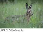 Купить «European hare (Lepus europaeus), standing alert in long grass, Burgundy France. May.», фото № 27252943, снято 18 августа 2018 г. (c) Nature Picture Library / Фотобанк Лори