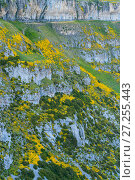 Купить «Horrible broom (Echinospartum horridum) growing on mountainside, Anisclo Canyon, Ordesa y Monte Perdido National Park, Aragon, Spain, July.», фото № 27255443, снято 15 декабря 2017 г. (c) Nature Picture Library / Фотобанк Лори
