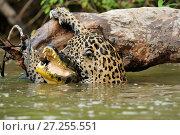 Купить «Jaguar (Panthera onca)  killing Spectacled caiman  (Caiman crocodilus) in Piquiri River, Pantanal Mato Grosso, Brazil.», фото № 27255551, снято 14 декабря 2017 г. (c) Nature Picture Library / Фотобанк Лори