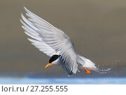 Black-fronted tern (Chlidonias albostriatus) in flight. Ashley River, Canterbury, New Zealand. August. Стоковое фото, фотограф Andy Trowbridge / Nature Picture Library / Фотобанк Лори
