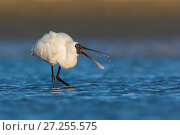 Royal spoonbill (Platalea regia) feeding in shallow water. Ashley River, Canterbury, New Zealand. July. Стоковое фото, фотограф Andy Trowbridge / Nature Picture Library / Фотобанк Лори