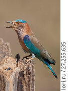 Купить «Indian roller (Coracias benghalensis) perched on stump. Bandhavgarh National Park, India. March.», фото № 27255635, снято 20 августа 2018 г. (c) Nature Picture Library / Фотобанк Лори