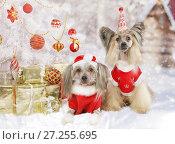 Купить «Two Chinese Crested dogs in a Christmas costumes», фото № 27255695, снято 4 ноября 2017 г. (c) Алексей Кузнецов / Фотобанк Лори