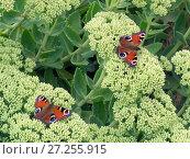 Купить «Peacock butterflies (Inachis io) resting on Ice plant (Sedum spectabile) England, UK.», фото № 27255915, снято 19 августа 2018 г. (c) Nature Picture Library / Фотобанк Лори