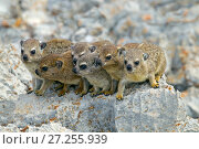 Rock hyrax (Procavia capensis) family on rock, Namibia. Стоковое фото, фотограф Ernie  Janes / Nature Picture Library / Фотобанк Лори