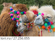 Купить «Domesticated Bactrian camels (Camelus bactrianus) with colourful halters, used for camel racing England, UK.», фото № 27256055, снято 21 января 2018 г. (c) Nature Picture Library / Фотобанк Лори