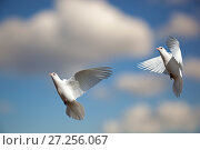Купить «Domestic Fan-tailed pigeons (Columba livia) in flight against a blue sky England, UK.», фото № 27256067, снято 12 декабря 2017 г. (c) Nature Picture Library / Фотобанк Лори