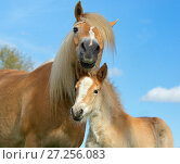 Купить «Haflinger horse mare and foal  in meadow, Norfolk, England, UK, March.», фото № 27256083, снято 16 августа 2018 г. (c) Nature Picture Library / Фотобанк Лори