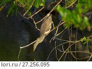 Купить «Indian pond heron (Ardeola grayii) hunting fish, Sri Lanka.», фото № 27256095, снято 11 июля 2020 г. (c) Nature Picture Library / Фотобанк Лори