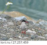 Купить «Arctic tern (Sterna paradisaea), seabird of tern family Sternidae. Tromso, Northern Norway. Птенец», фото № 27257459, снято 15 июля 2016 г. (c) Валерия Попова / Фотобанк Лори