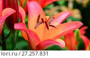 Купить «beautiful large flower orange lilies», видеоролик № 27257831, снято 13 июля 2017 г. (c) Володина Ольга / Фотобанк Лори