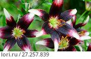 Купить «beautiful varietal lilies close-up on flower bed», видеоролик № 27257839, снято 13 июля 2017 г. (c) Володина Ольга / Фотобанк Лори