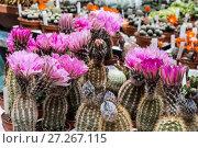Купить «Продажа цветущих кактусов (суккулентов) на рынке», фото № 27267115, снято 11 мая 2014 г. (c) Наталья Волкова / Фотобанк Лори