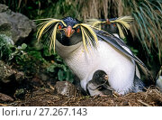 Купить «Northern rockhopper penguin (Eudyptes moseleyi) parent with chick. Gough Island, Gough and Inaccessible Islands UNESCO World Heritage Site, South Atlantic.», фото № 27267143, снято 17 декабря 2017 г. (c) Nature Picture Library / Фотобанк Лори