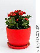 Купить «Red kalanchoe in a pot on light background», фото № 27272231, снято 25 ноября 2017 г. (c) Володина Ольга / Фотобанк Лори