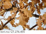 Купить «Засохшие дубовые листья на ветке», эксклюзивное фото № 27276455, снято 12 марта 2017 г. (c) Елена Коромыслова / Фотобанк Лори