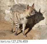 Купить «Striped hyena (Hyaena hyaena). Гиена осматривается», фото № 27276459, снято 18 февраля 2016 г. (c) Валерия Попова / Фотобанк Лори