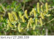 Купить «Ветка цветущей ивы (лат.Salix), или ракиты», фото № 27280339, снято 27 мая 2017 г. (c) Елена Коромыслова / Фотобанк Лори