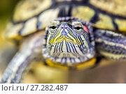 Купить «Red-eared turtle in natural habitat, macro», фото № 27282487, снято 27 сентября 2016 г. (c) Евгений Ткачёв / Фотобанк Лори