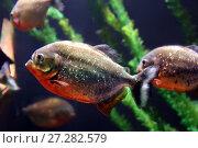 Купить «Piranha fish underwater», фото № 27282579, снято 28 июля 2015 г. (c) Евгений Ткачёв / Фотобанк Лори