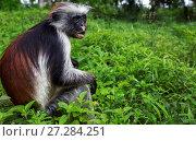 Купить «Zanzibar red colobus (Procolobus kirkii) feeding. Jozani-Chwaka Bay National Park, Zanzibar, Tanzania. June.», фото № 27284251, снято 21 января 2020 г. (c) Nature Picture Library / Фотобанк Лори