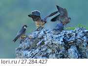 Купить «Male Peregrine falcon (Falco peregrinus) with two juveniles, Cadiz, Andalusia, Spain, May.», фото № 27284427, снято 20 августа 2018 г. (c) Nature Picture Library / Фотобанк Лори