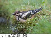 Купить «Great spotted woodpecker(Dendrocopus major) drinking, Brasschaat, Belgium», фото № 27284563, снято 13 декабря 2017 г. (c) Nature Picture Library / Фотобанк Лори