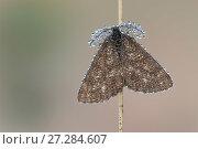 Купить «Common heath moth (Ematurga atomaria) male, Klein Schietveld, Brasschaat, Belgium, June.», фото № 27284607, снято 15 декабря 2017 г. (c) Nature Picture Library / Фотобанк Лори