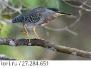 Купить «Striated heron (Butorides striatus) Madidi National Park, Bolivia», фото № 27284651, снято 14 июля 2020 г. (c) Nature Picture Library / Фотобанк Лори