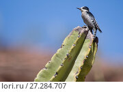 Купить «White-fronted woodpecker (Melanerpes cactorum) perched on cactus,  Red-fronted Macaw Community Nature Reserve, Omerque, Bolivia», фото № 27284707, снято 14 ноября 2018 г. (c) Nature Picture Library / Фотобанк Лори