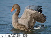Купить «Greylag goose (Anser anser) raising wings,  Antwerpen, Belgium, March.», фото № 27284839, снято 20 августа 2018 г. (c) Nature Picture Library / Фотобанк Лори