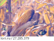 Купить «Ripened corn cob», фото № 27285379, снято 14 сентября 2017 г. (c) Яков Филимонов / Фотобанк Лори