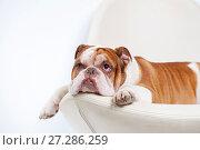 Купить «Dog breed English bulldog, lies and looks up.», фото № 27286259, снято 5 апреля 2016 г. (c) Olesya Tseytlin / Фотобанк Лори