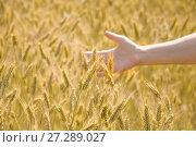 Купить «Женская рука трогает колосья ржи», фото № 27289027, снято 27 июля 2017 г. (c) Алёшина Оксана / Фотобанк Лори