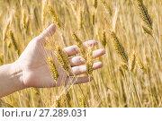 Купить «Женская рука трогает колосья ржи на поле», фото № 27289031, снято 27 июля 2017 г. (c) Алёшина Оксана / Фотобанк Лори