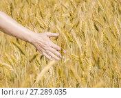Купить «Женская рука трогает колосья ржи на поле», фото № 27289035, снято 27 июля 2017 г. (c) Алёшина Оксана / Фотобанк Лори