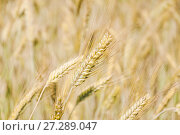 Купить «Колосок ржи (Secale cereale)», фото № 27289047, снято 5 июля 2010 г. (c) Алёшина Оксана / Фотобанк Лори